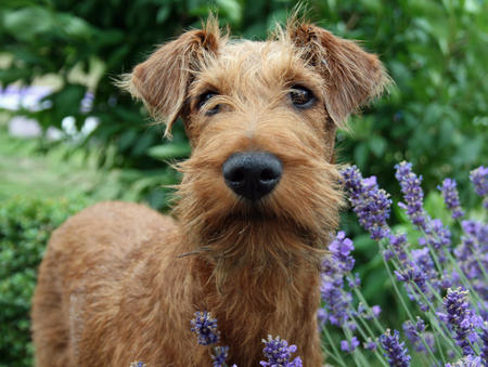 Irish terrier parte II