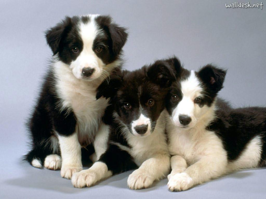 cucciolo,di,border,collie,in,regalo,ancona