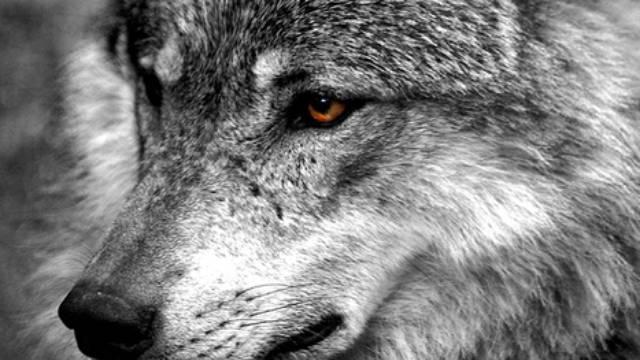 Le storie sugli animali del Lupo Nero