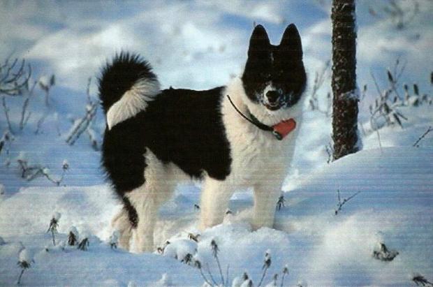 Laika sulla neve