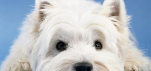 steimer-west-highland-white-terrier