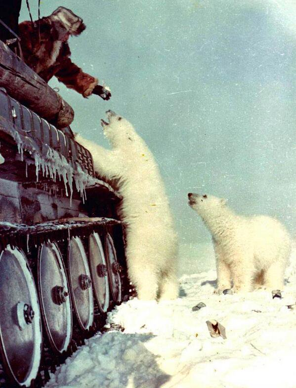 Feeding polar bears from a tank c. 1950s