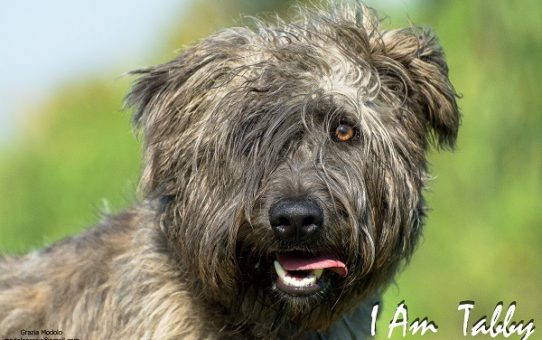 La mia vita con i terrier e la scoperta dei Glen of Imaal Terrier